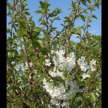 CERISIER - Prunus avium - bigarreau 'Hatif de burlat'