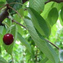 CERISIER - Prunus avium - bigarreau 'Noir de meched'