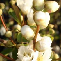 Buisson de perles 'The Bride'