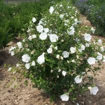 Althea à fleur double blanc