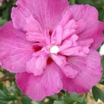 Althea à fleurs doubles rose foncé
