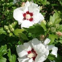 Althea blanc et rouge