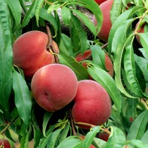 PECHER - Prunus persica 'Reine des vergers'