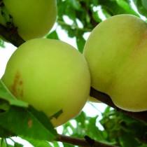 PECHER - Prunus persica 'Grosse mignonne'