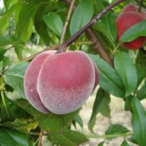 PECHER - Prunus persica 'Sanguine'
