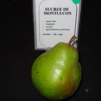 POIRIER - Pyrus communis 'Sucrée de Montluçon'