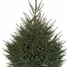Sapin de Noël EPICEA