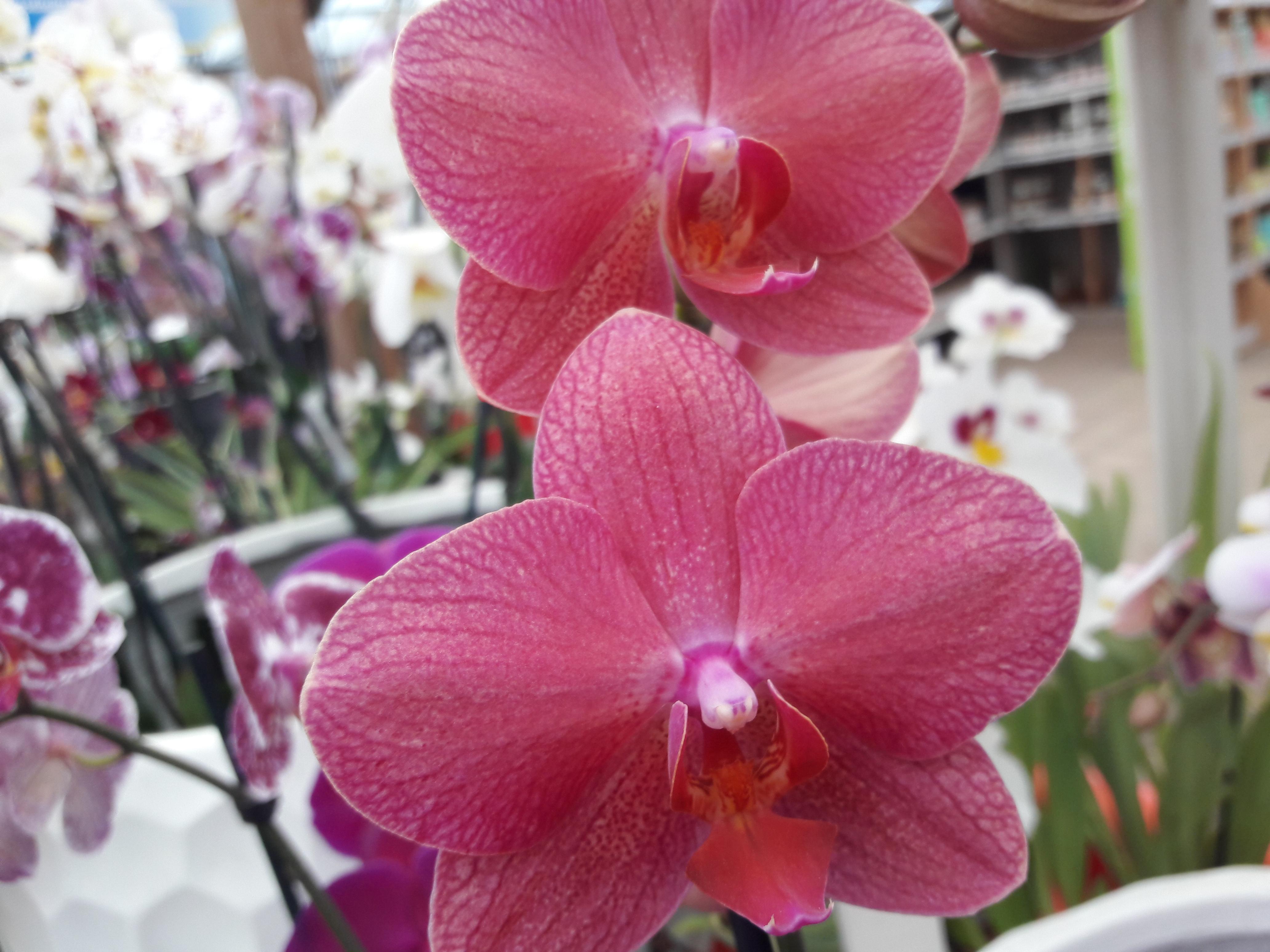 orchiées - phalaenopsis
