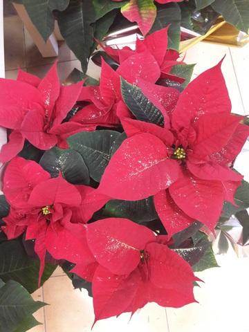Poinsettia - etoile de Noel